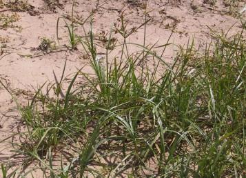 עשבים בגובה 20-10 ס