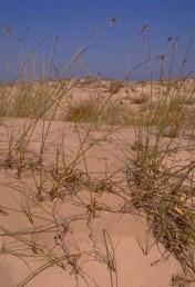 צמחי  חול עמוק בקרבת הים-התיכון. גובה הצמח 100-50 ס