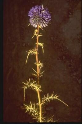 קיפודן מצוי Echinops adenocaulos Boiss.