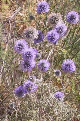 Echinops adenocaulos Boiss.
