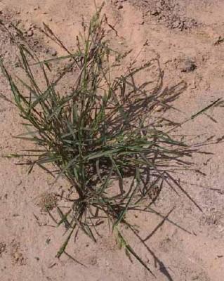 דחנית השלחין Echinochloa colonum (L.) Link