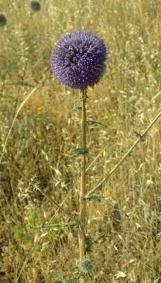 Echinops gaillardotii Boiss.