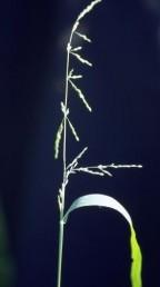 עשבים חד-שנתיים בעלי מכבד מבודר הגדלים בקיץ בפרדסי השרון. הגבעולים נושאי השיבוליות נוטים כלפי מטה.