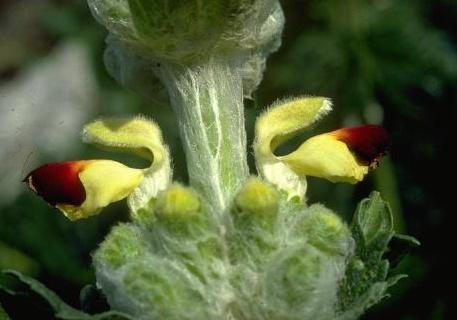 צמר מפוצל Eremostachys laciniata (L.) Bunge