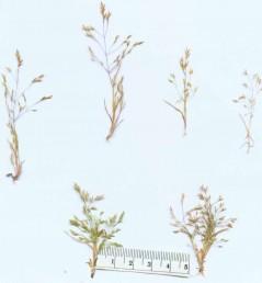 עשב חד-שנתי בעל תפרחת מכבד מבודר. גדל בקרקעות לחות ומלוחות.
