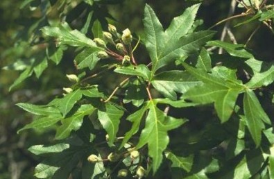 העלה גזור, בעל 3 אונות. עץ נדיר מאוד בגליל העליון ובמורדות החרמון.
