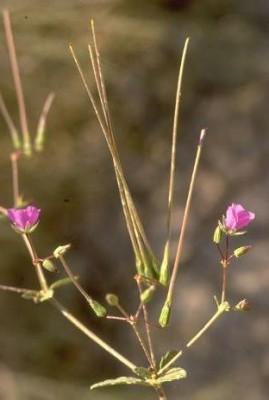 Erodium glaucophyllum (L.) L'Her.