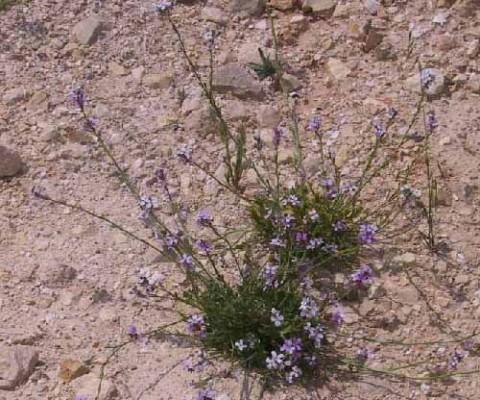 שלח הערבות Erucaria rostrata (Boiss.) Greuter & Burdet