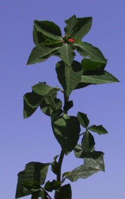 Euphorbia cyathophora Murr.