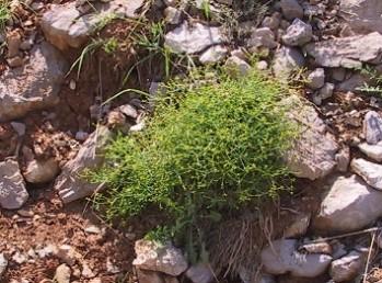 בני-שיח בעלי ענפים דוקרניים, גדלים ברום 2,200-1,900 מ' בחרמון.