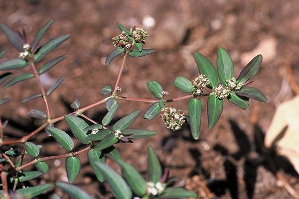 חלבלוב נטוי Euphorbia maculata L.
