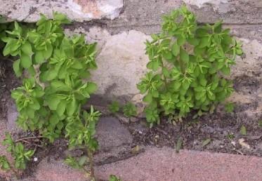 צמחים הגדלים בעיקר בסביבות האדם.
