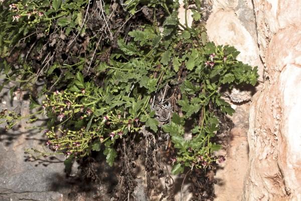 Scrophularia pinardii Boiss.