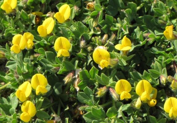 לוטוס נאכל Lotus edulis L.