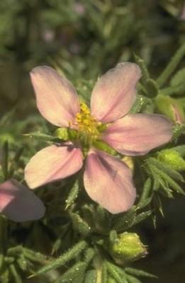 פגוניה רכה Fagonia mollis Delile