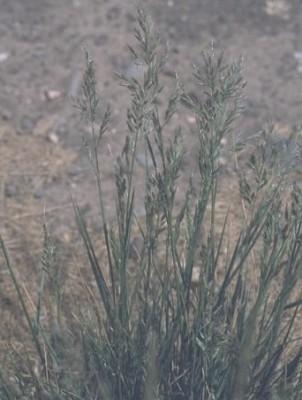 Schedonorus arundinaceus (Schreb.) Dumort.