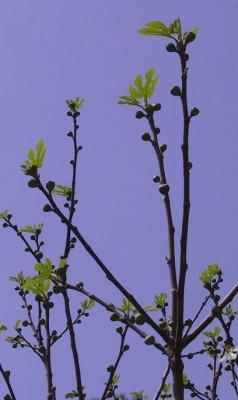 פיקוס התאנה Ficus carica L.