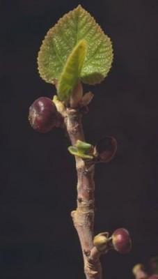 פיקוס בת-שקמה Ficus palmata Forssk.