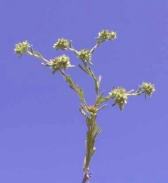 צמחים שגבעולם זקוף כרגיל וגובהם 40-10 ס