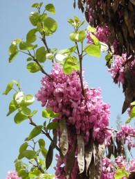 עם לבלוב הענפים והעלים נפגשים פרחי השנה עם פירות השנה שעברה.