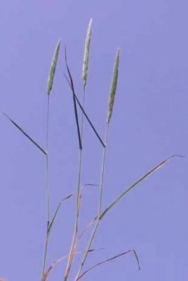 כרסתן מחוספס Gastridium scabrum C.Presl