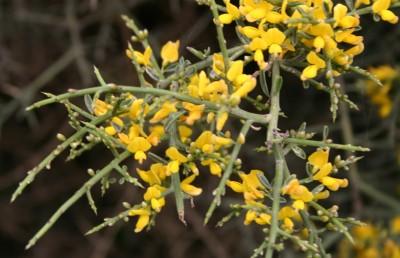 העלים תמימים, שעירים נושרים לאחר זמן קצר ומותירים גבעולים ירוקים קוצניים.