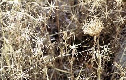 זקן-סב מצוי Geropogon hybridus (L.) Sch.Bip.