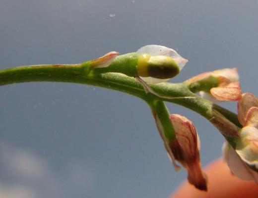 עשנן הגליל Fumaria petteri Rchb.