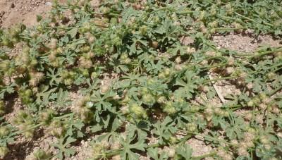 צמחים רב-שנתיים או חד-שנתיים שרועים של הגלילות המדבריות.