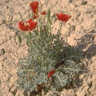 Glaucium arabicum Fresen.