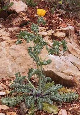 פרגה צהובה Glaucium flavum Crantz