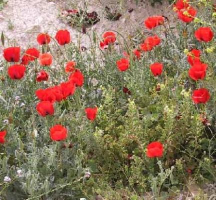 פרגה אדומה Glaucium grandiflorum Boiss. & A.Huet