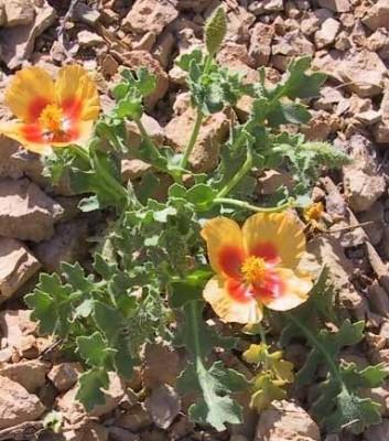 פרגה קרחת Glaucium leiocarpum Boiss.