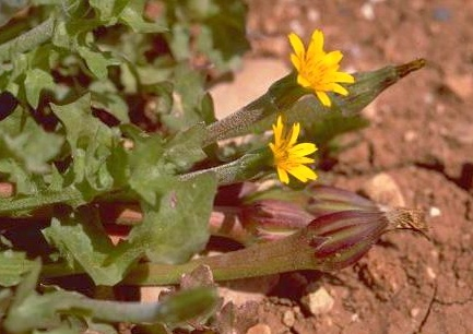 שופרית כרתית Hedypnois rhagadioloides (L.) F.W.Schmidt