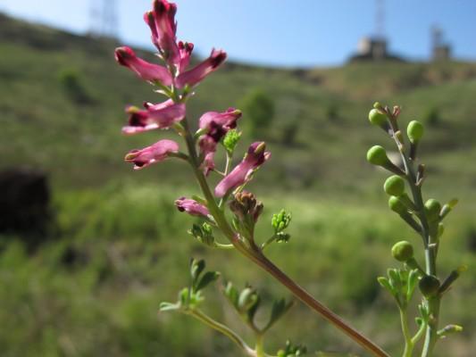 עשנן רפואי Fumaria officinalis L.