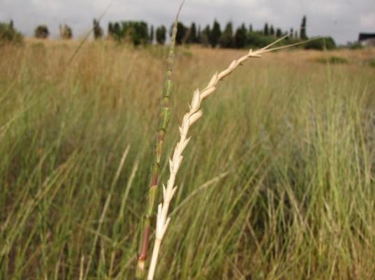 בן-חיטה אריכא Aegilops longissima Schweinf. & Muschl.