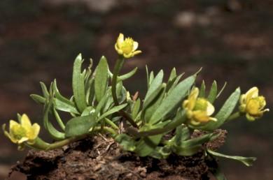 הגבעול דקיק, קירח, נושא 2-1 פרחים. עלי-הגביע מפושקים, עלי-הכותרת באורך 7-5 מ