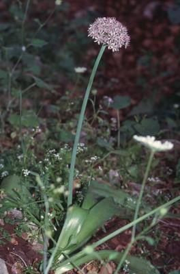 שום החורשים Allium dumetorum Feinbrun & Szel.