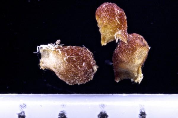 זהבית הבצלצולים Gagea gageoides (Zucc.)Vved.