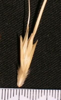 חיטת הבר Triticum dicoccoides (Koern. ex Asch. & Graebn.) Schweinf.