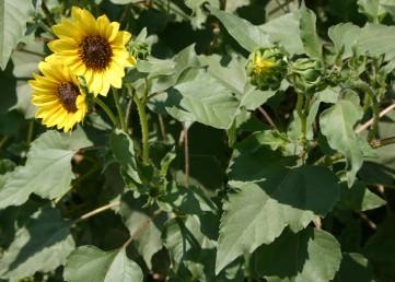 הקרקפות בעלות פרחים לשוניים צהובים עקרים וצינוריים פוריים בצבע חום, ארגמן או צהוב.  העלים פשוטים, בעלי פטוטרות ארוכות; שפתם משוננת.
