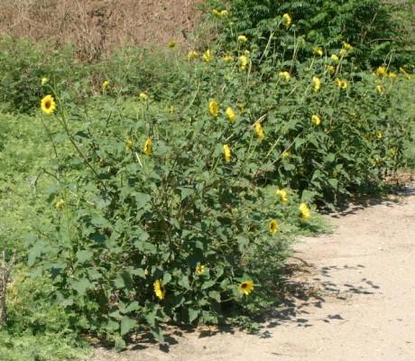 חמנית מצויה Helianthus annuus L.