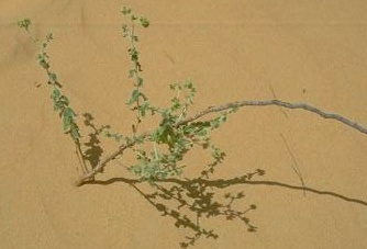 עוקץ-עקרב צהוב Heliotropium digynum (Forssk.) C.Chr.