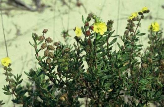 שמשון סגלגל Helianthemum stipulatum (Forssk.) C.Chr.