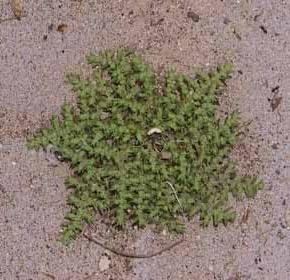 דרכנית קירחת Herniaria glabra L.