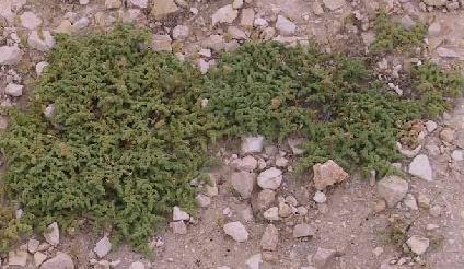 דרכנית מקופחת Herniaria hemistemon J.Gay