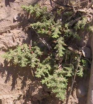 דרכנית שעירה Herniaria hirsuta L.
