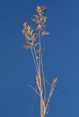 Eragrostis cilianensis (All.) Janch.