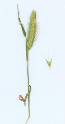 שעורת העכבר Hordeum glaucum Steud.