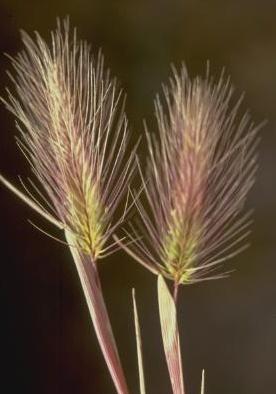 שעורת החוף Hordeum marinum Huds.